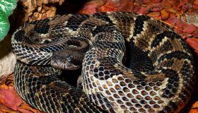 Crotalus horridus – timber rattlesnake