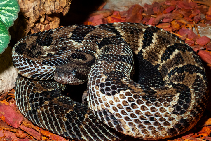 Crotalus horridus – timber rattlesnake
